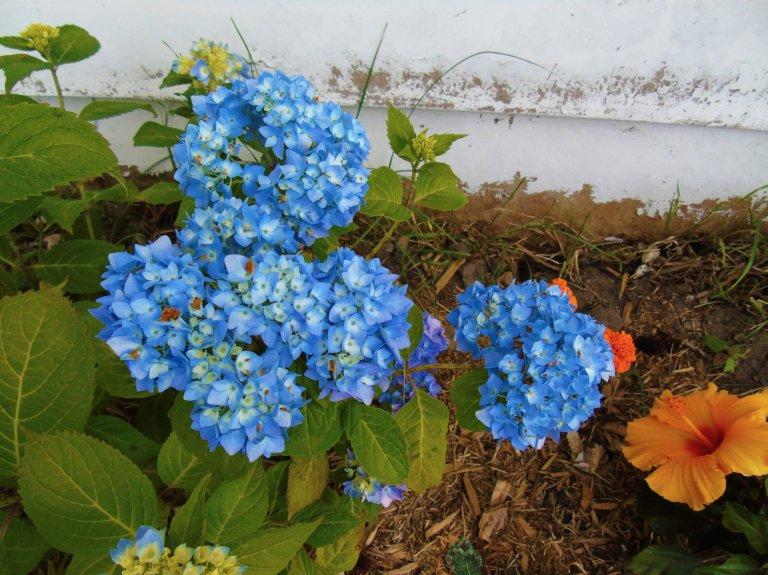 hydranga_blue2_ul