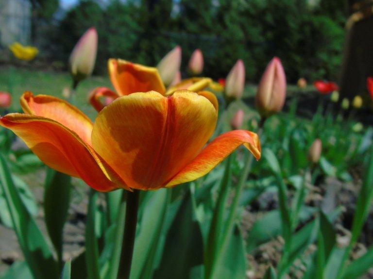 tulips2015_5_ul