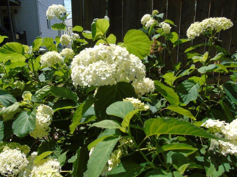 whitehydrangea5_ul