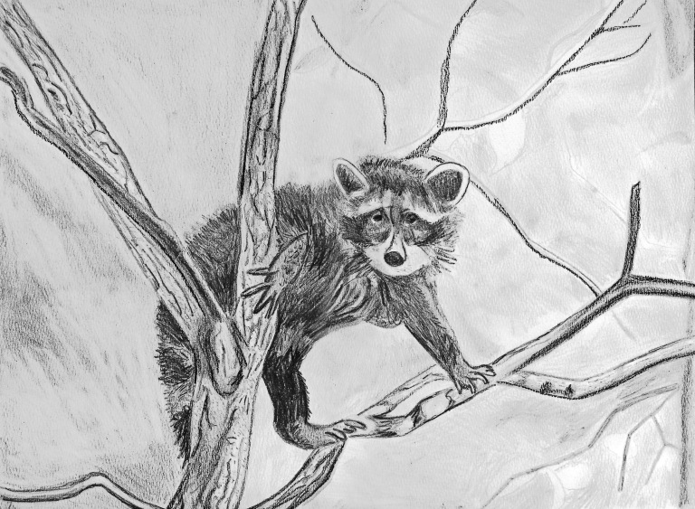 racoon_in_tree_drawing_ul
