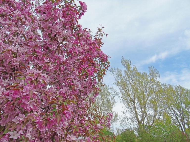 apple_blossoms_2016_5_ul