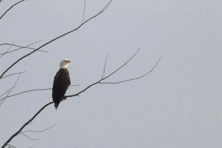 bald_eagle_6x4_ul