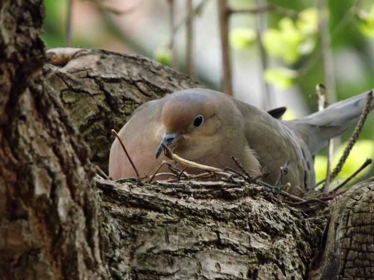 dove_on_nest_ul