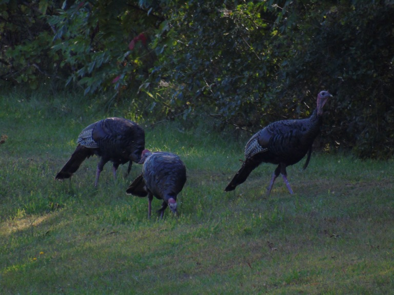 gnat_turkeys16_ul