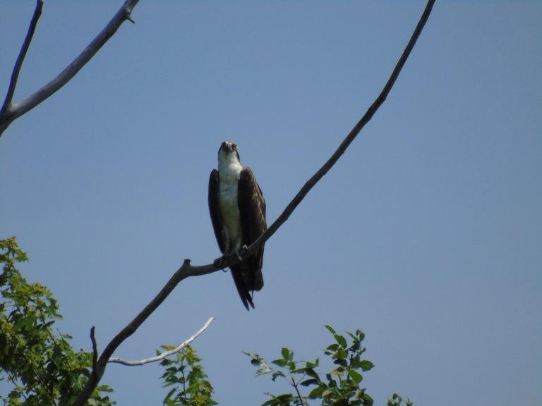 hoople_osprey8_ul