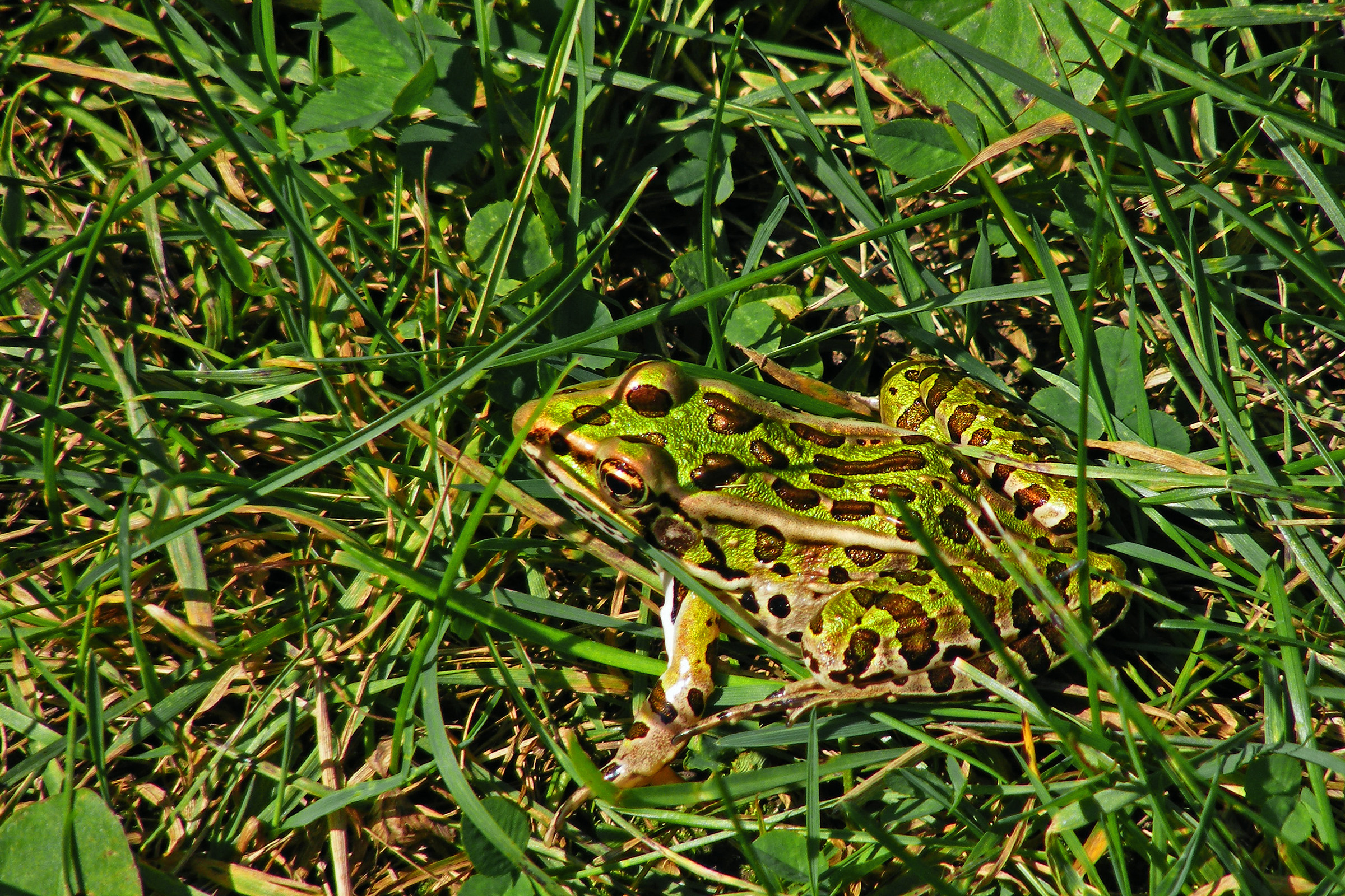 Leaperd Frog_ul