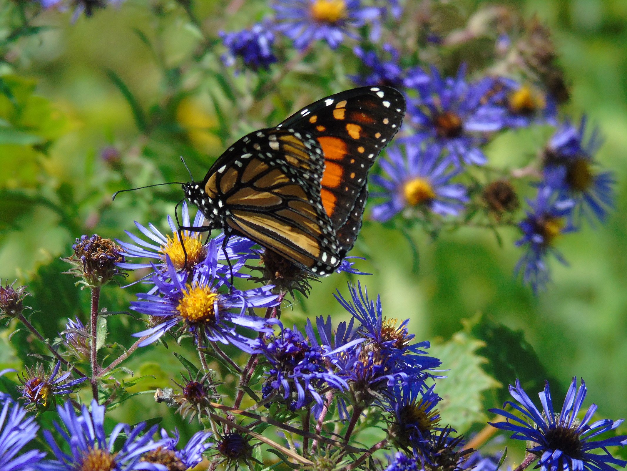monarch_on_aster6_ul