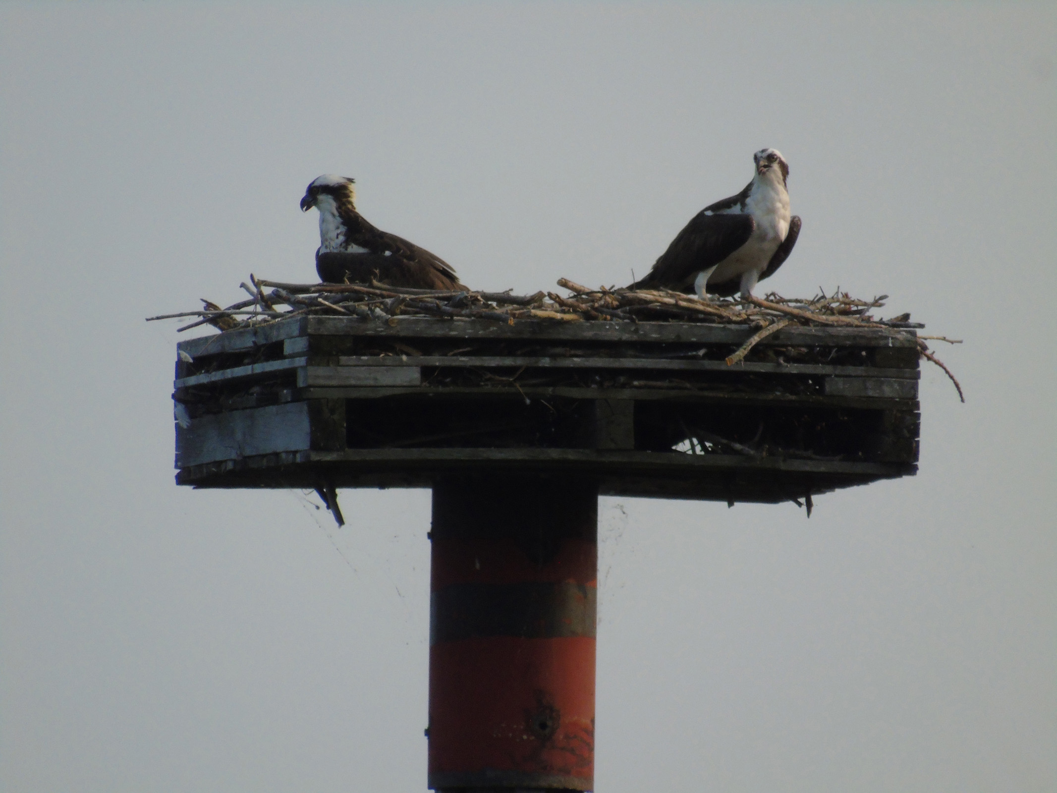 osprey_looking_away_from_each_other_ul