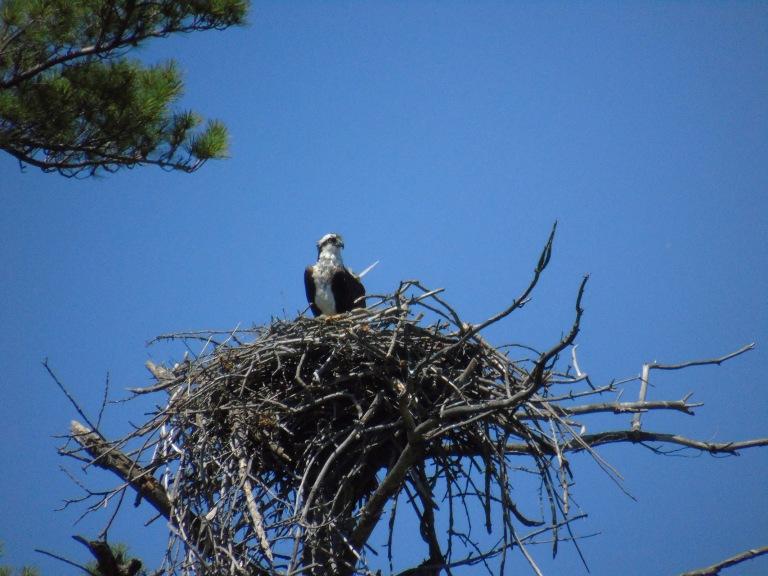 osprey_on_nest_ul