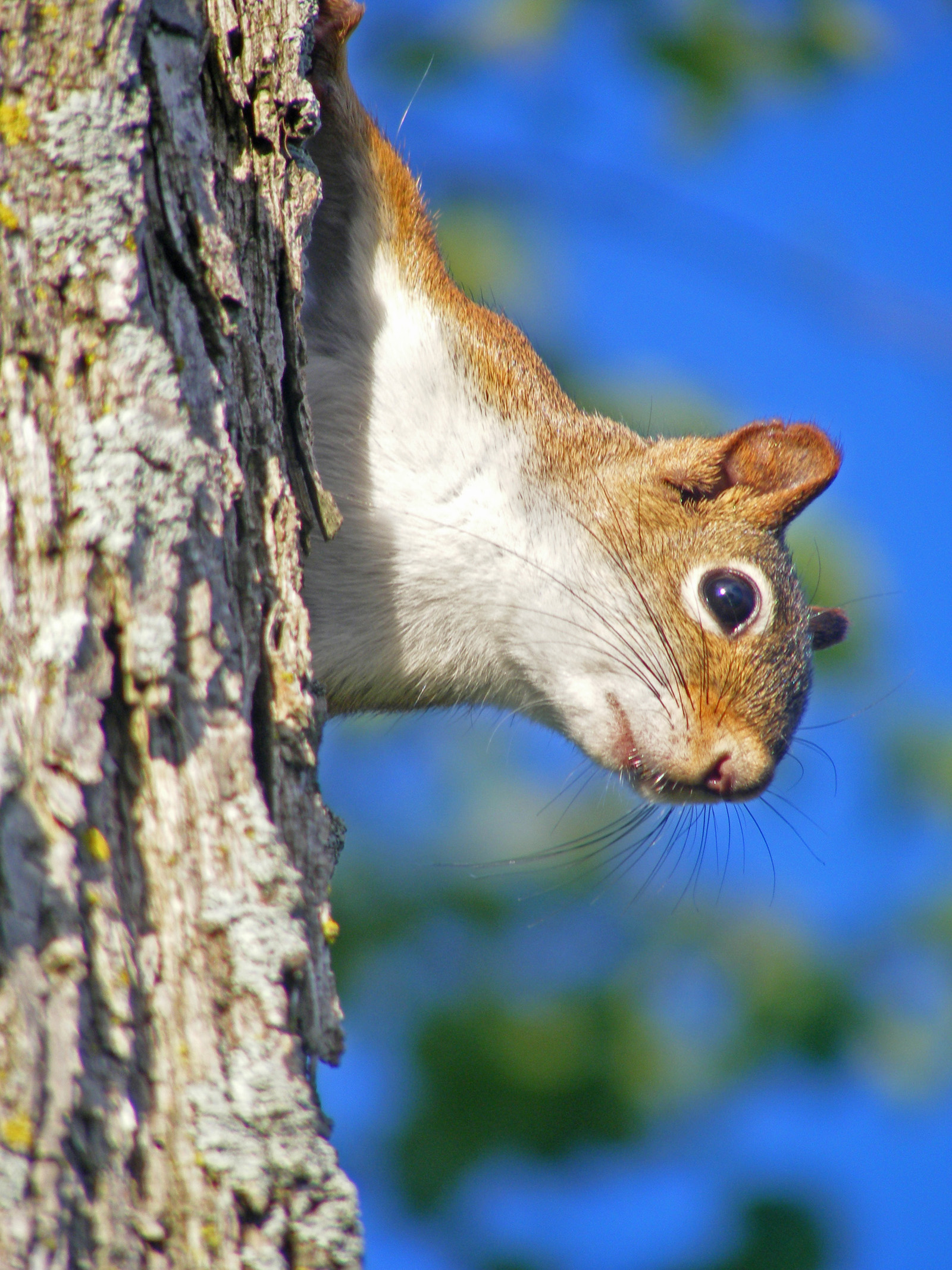red_squirrel1_ul