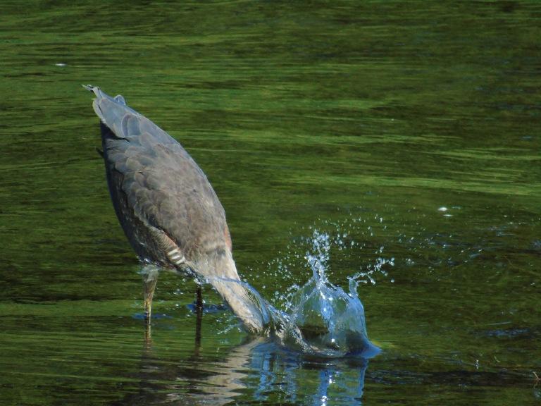 scruffy_heron_splash_ul
