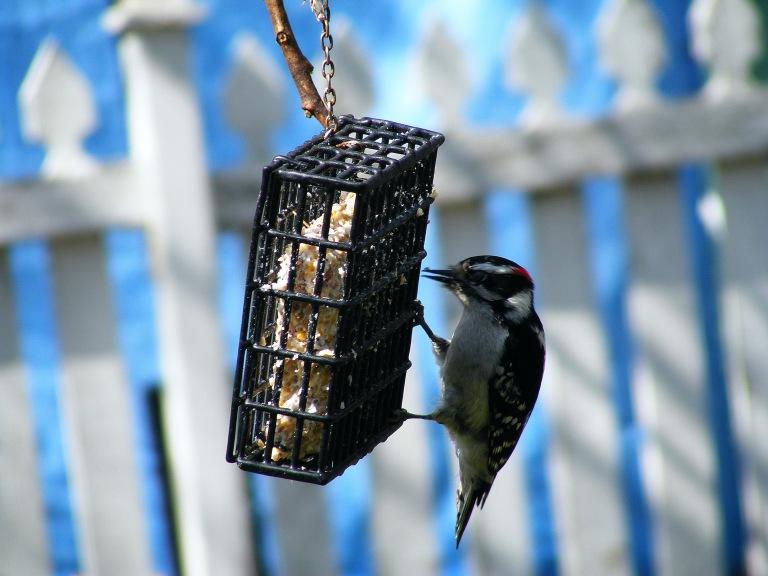 Small Woodpecker_ul
