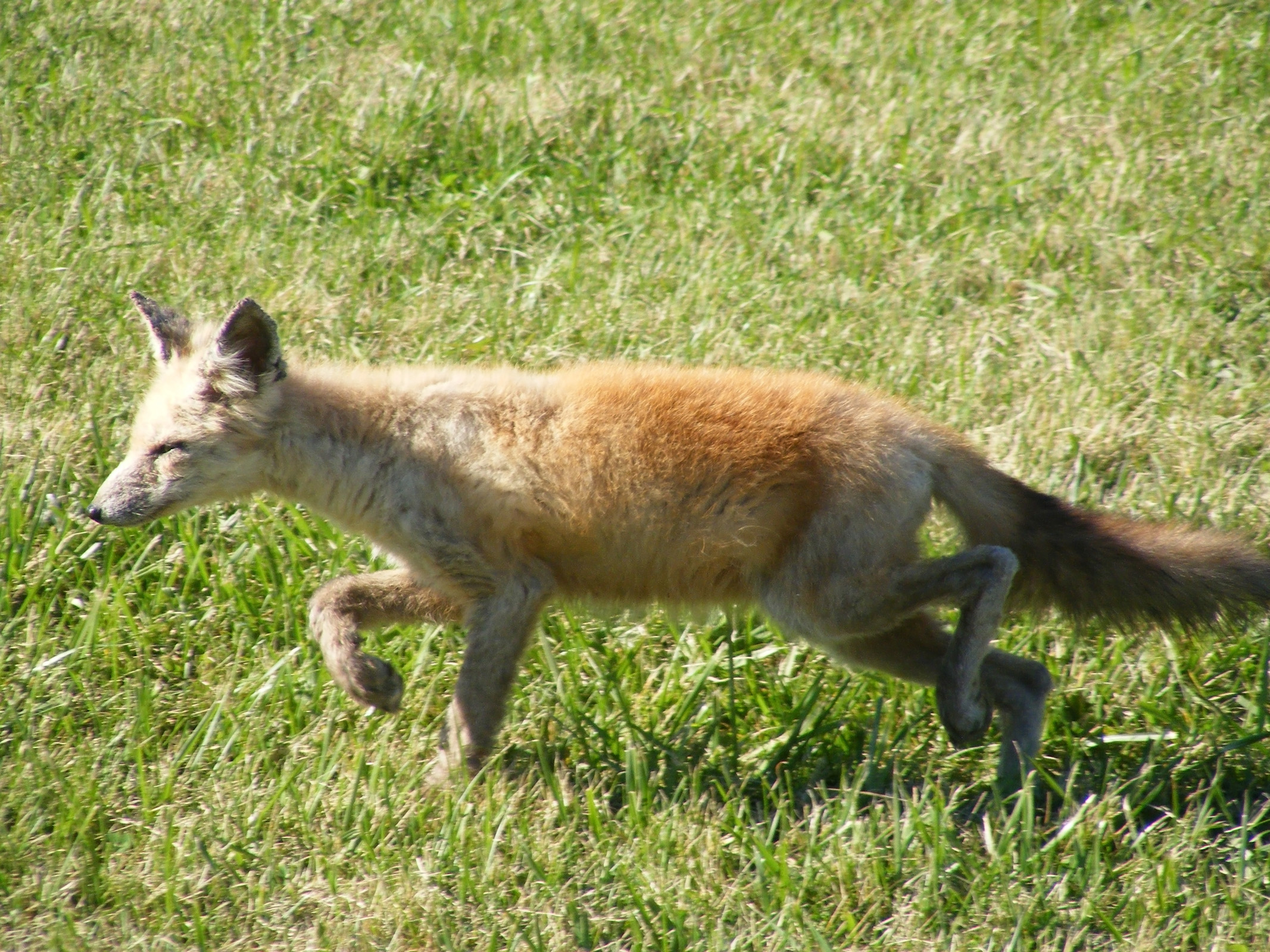 small_coyote3_ul