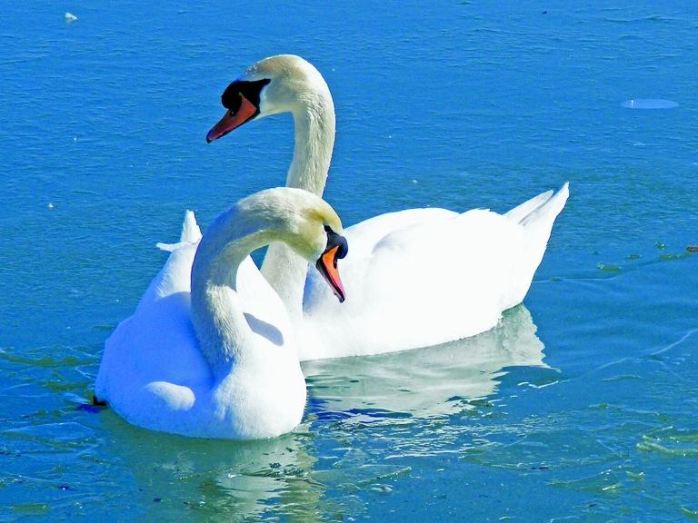Swan's CMYK_ul