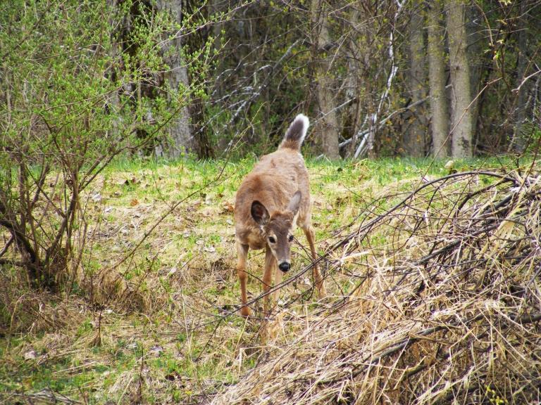 deer looking down hill_ul