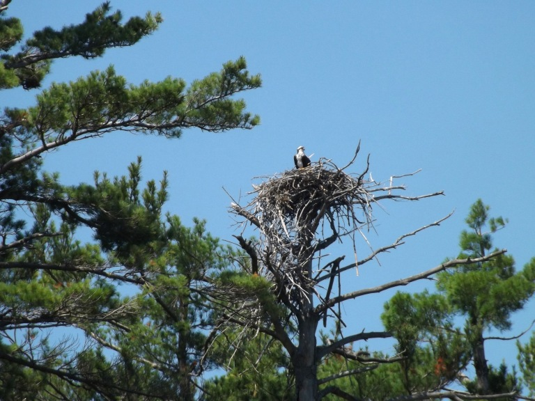 dads_osprey_in_nest_picture2_ul