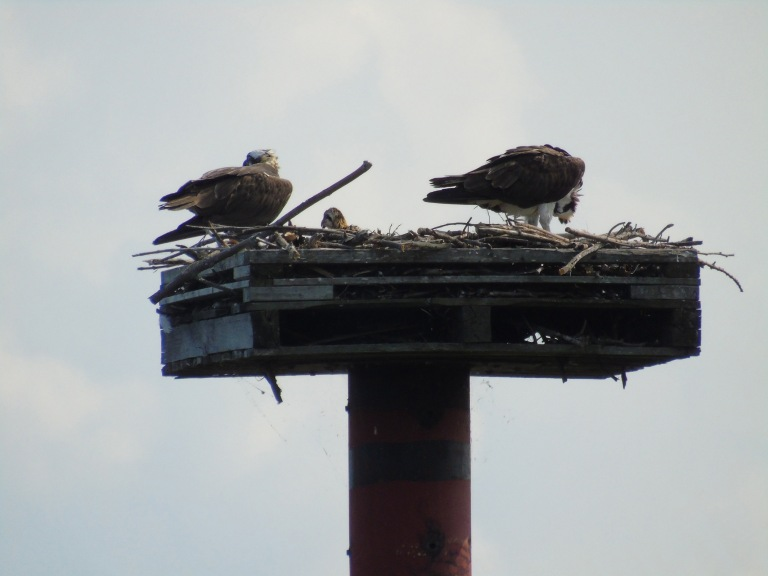 osprey_with_baby1_ul