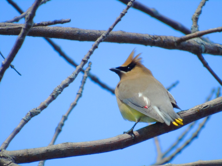 dead_tree_waxwings2_ul