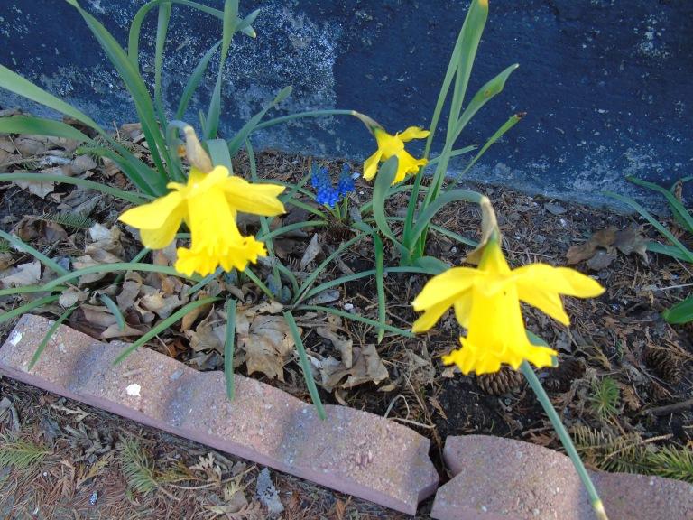 daffodils_muscari2_ul