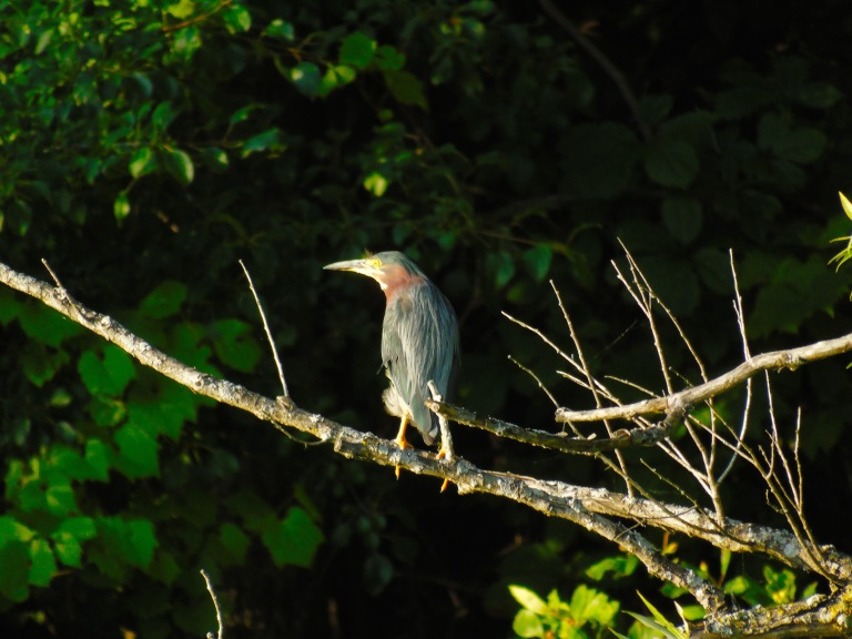 green_heron_branch4_ul