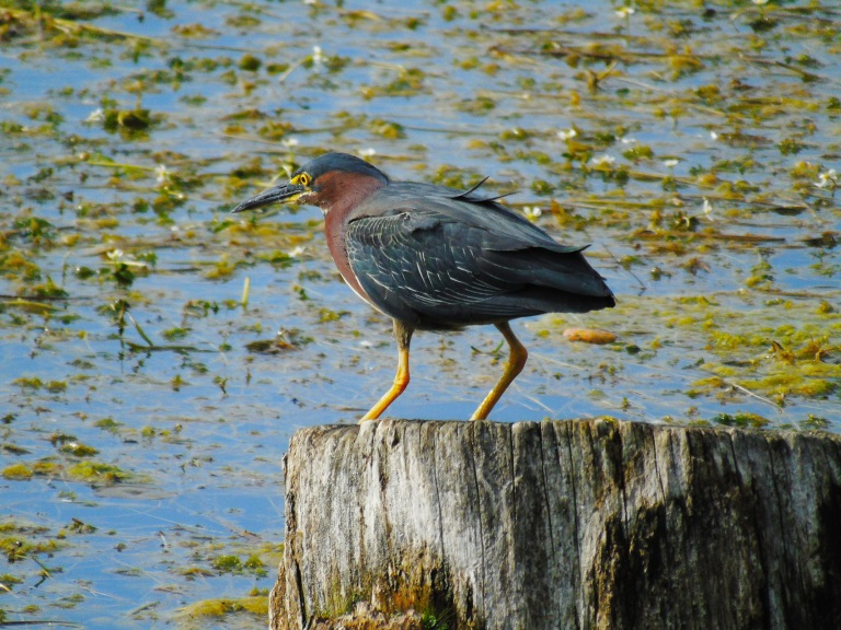 green_heron_stump10_ul