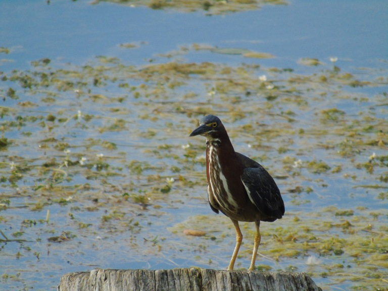 green_heron_stump1_ul