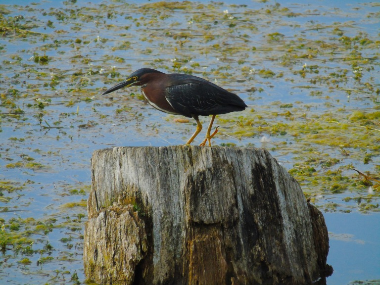 green_heron_stump4_ul