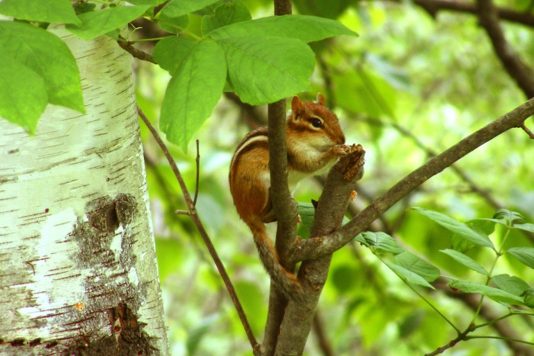 chipmunk_on_branch4_ul