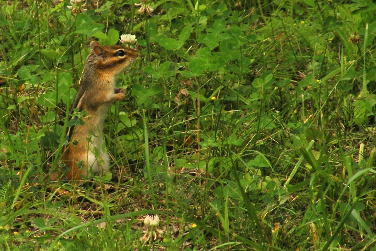 chipmunk_on_grass_ul