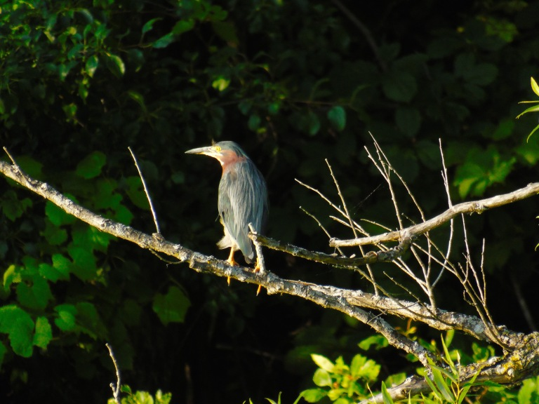 green_heron_branch5_ul