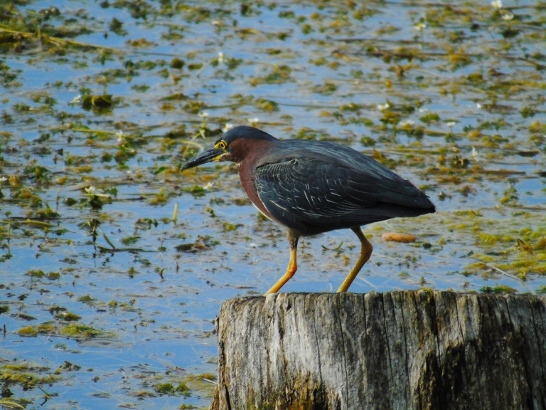 green_heron_stump7_ul
