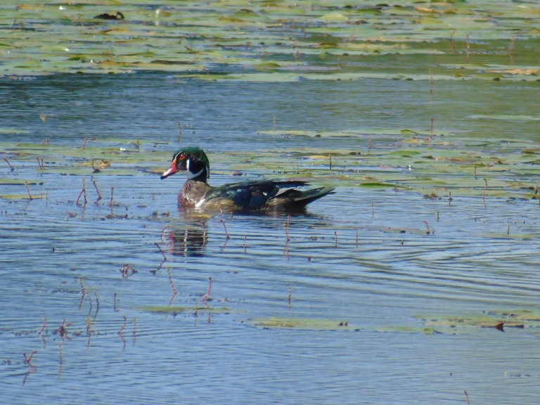 woodduck_crop2_ul