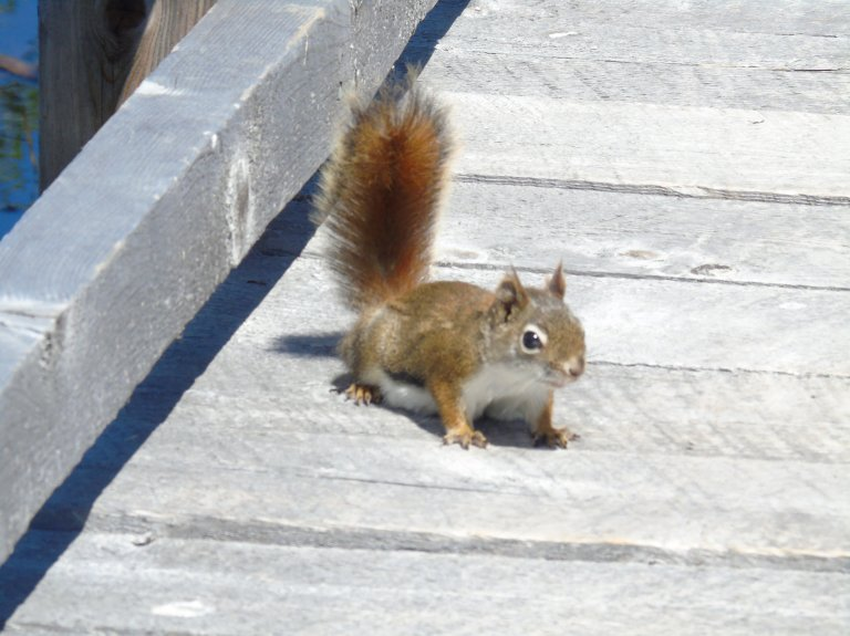 boardwalk_squirrel2_ul