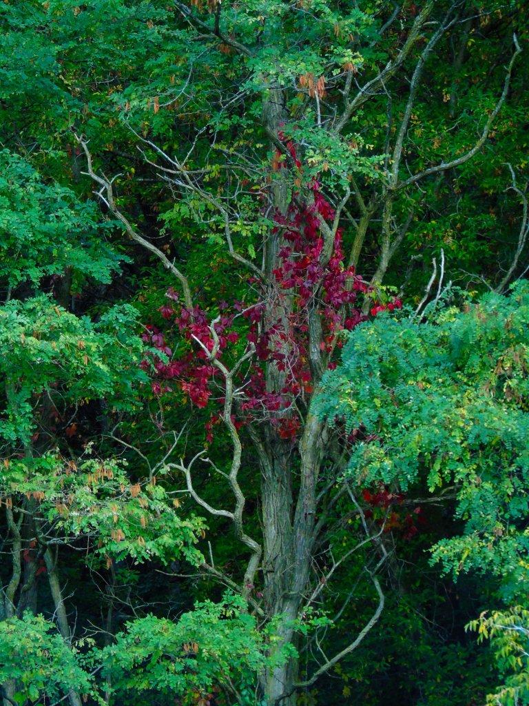 dead_tree_vine2_ul