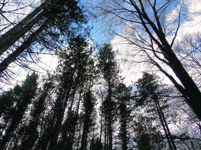 guindon_pines3_ul