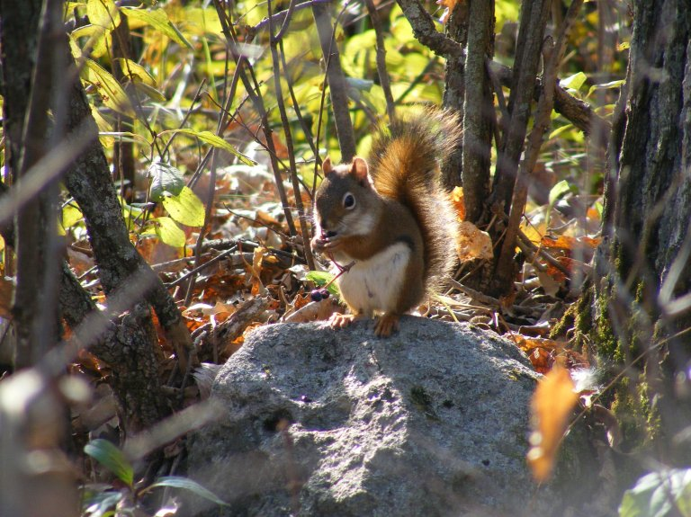 Red_Squirrel2015_2_ul