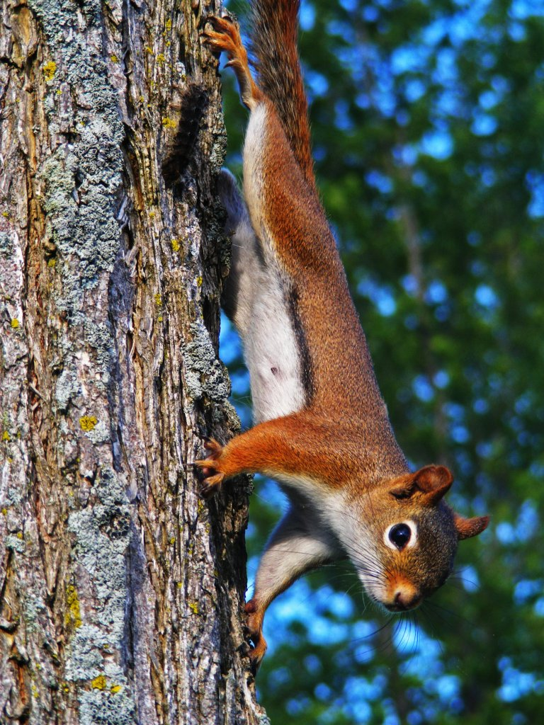 red_squirrel3_ul