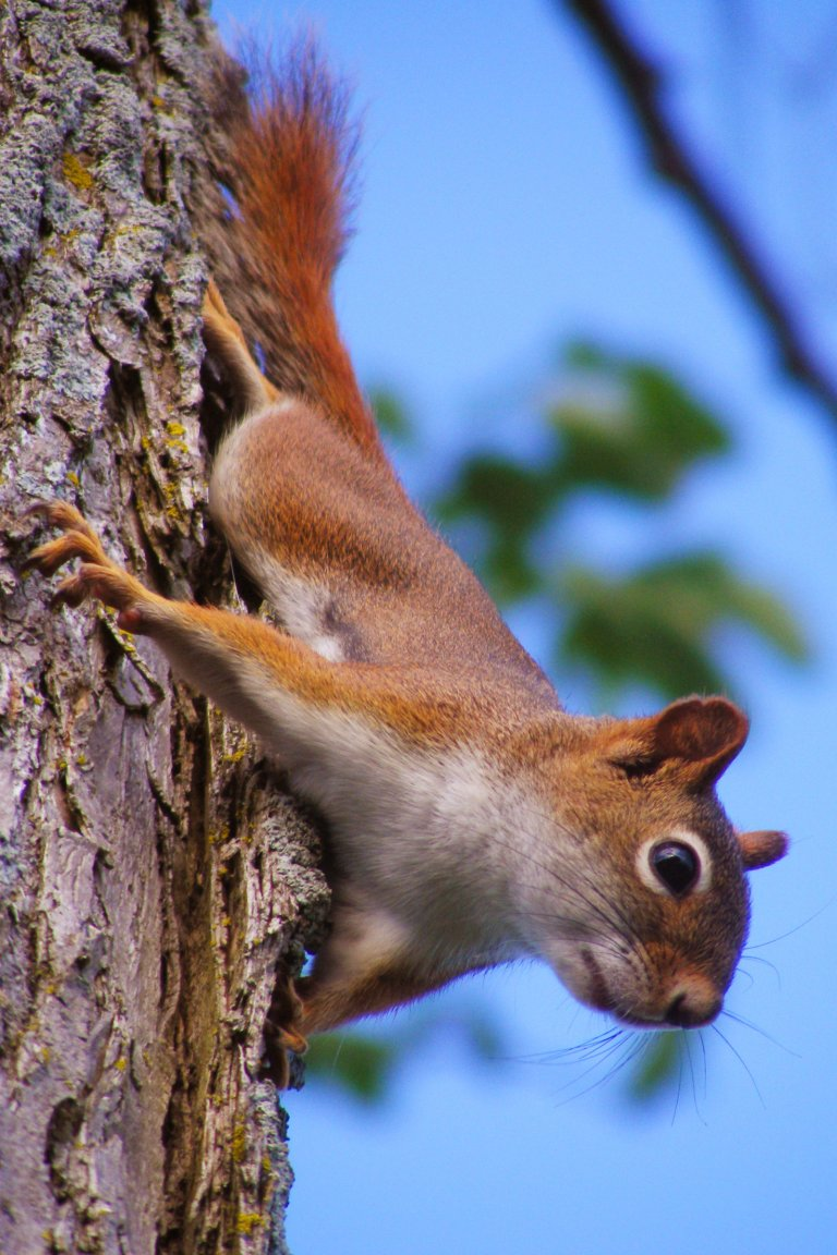 red_squirrel7_ul
