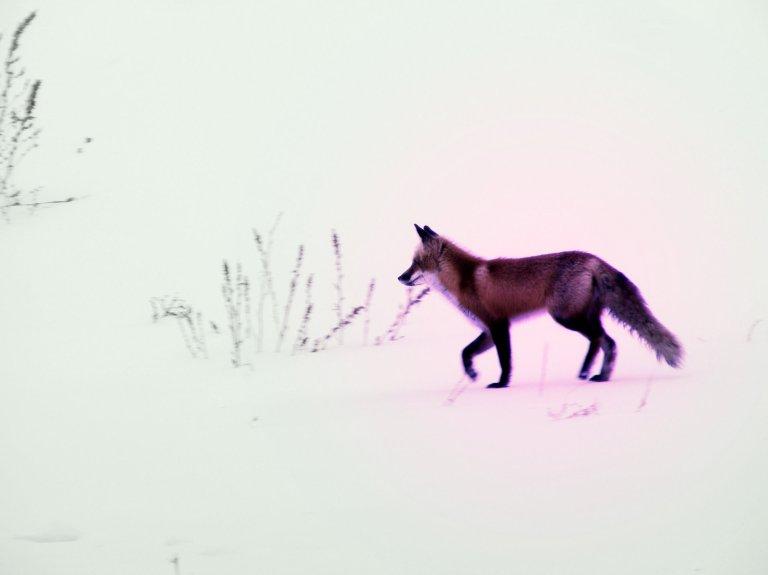 Fox Colour-1_ul