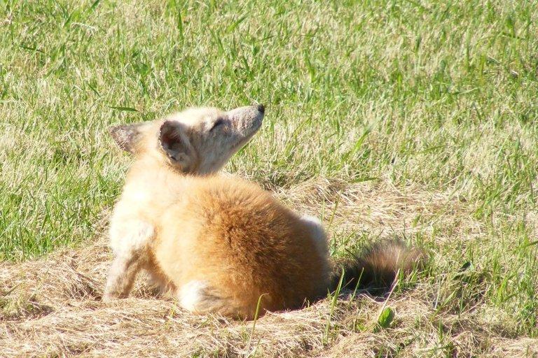 small_coyote_scratch_ul