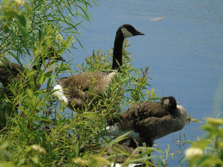 Canada Geese 2019 1 2