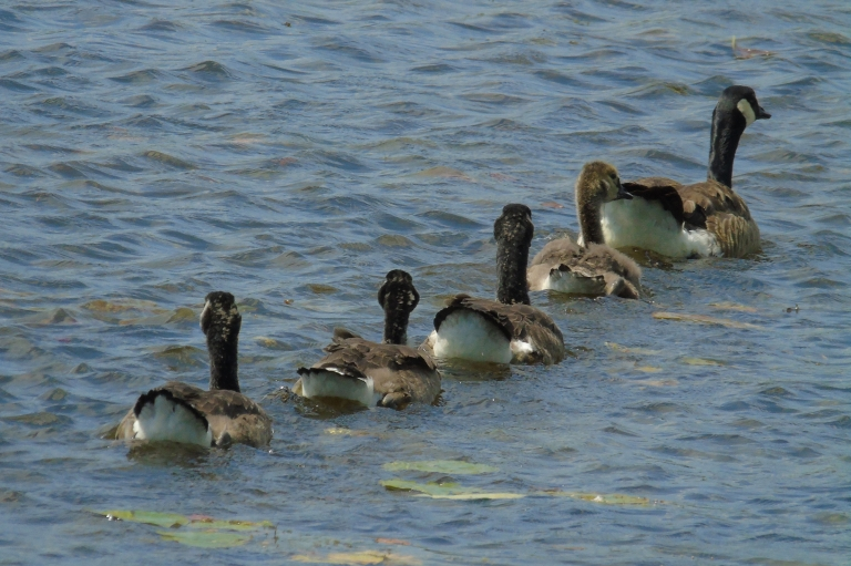 Canada Geese 2019 2