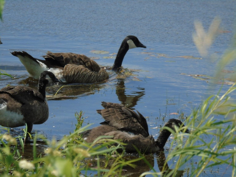 Canada Geese 2019 6