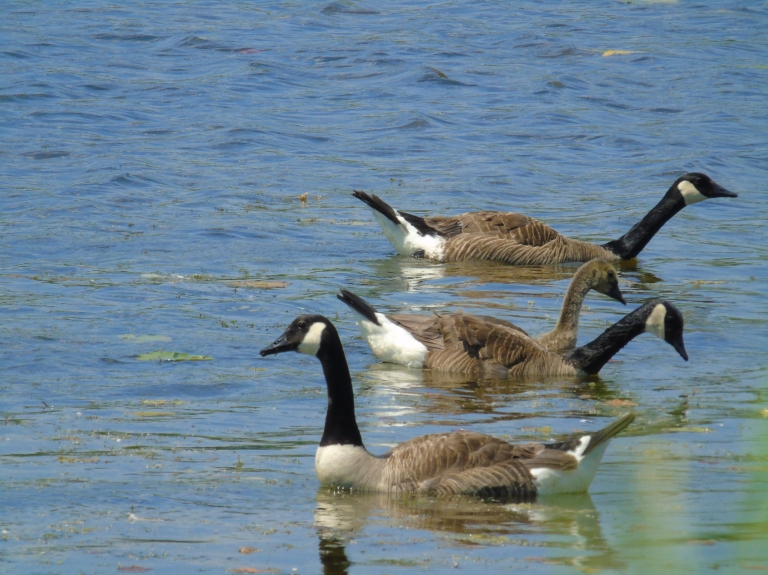 Canada Geese 2019 8