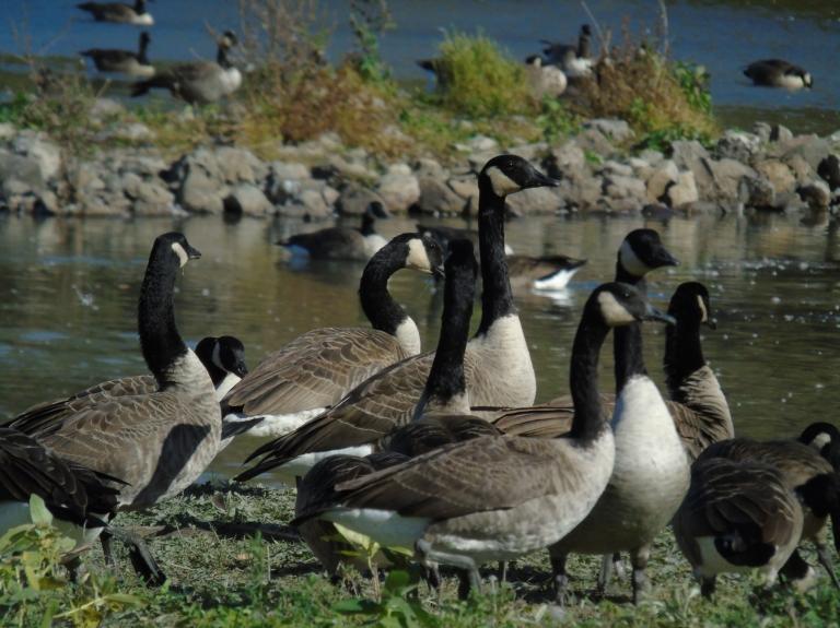 Geese feeding4