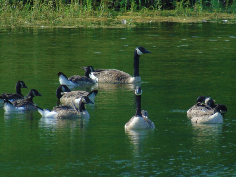 Geese Woodlands 9