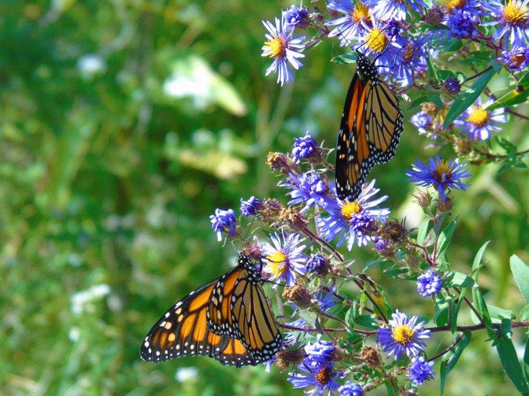 2 Monarch