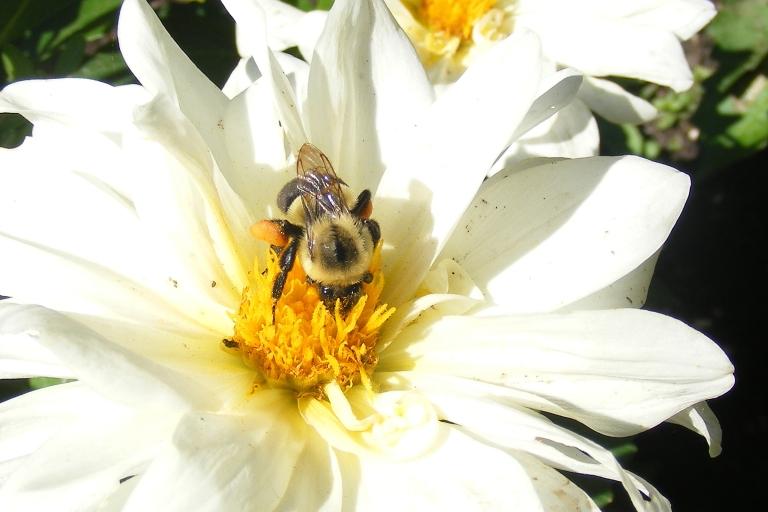 Bee on daliah