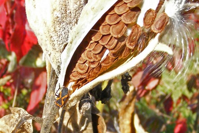 beetle_on_milkweed_ul