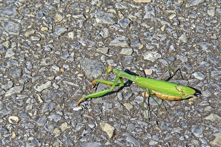 Crawling Mantis